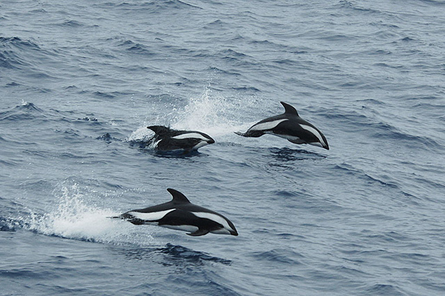 hourglass dolphin
