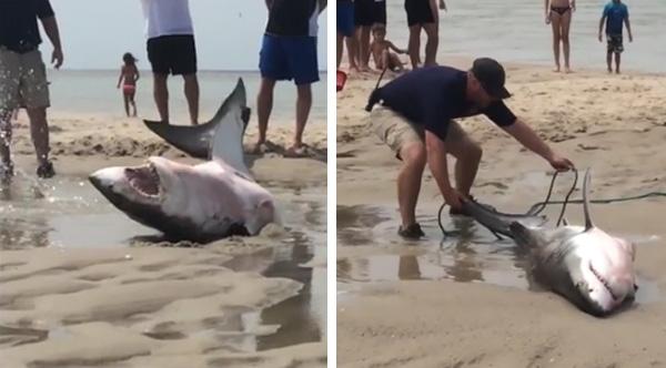 great white shark saved by beachgoers in massachusetts