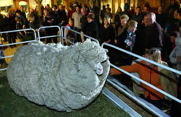 shrek the sheep