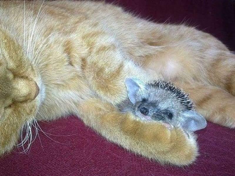 mama cat adopts hedgehogs