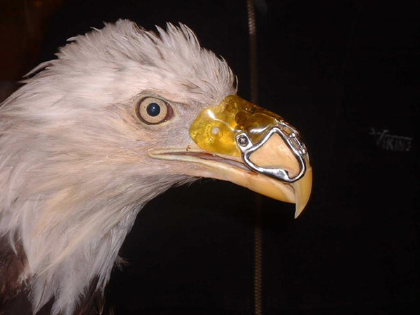 dentist fixes eagle beak