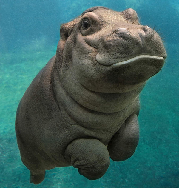 San Diego Zoos Baby Hippo