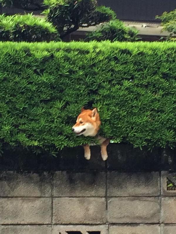 shiba trapped in bush