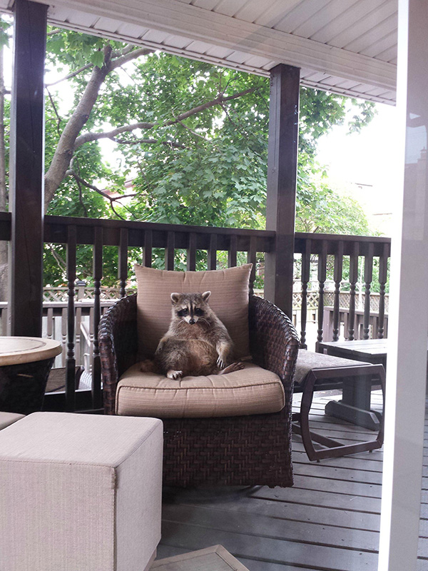raccoon sitting in patio furniture on porch