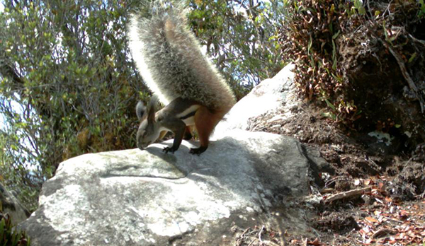 fluffy tail squirrel