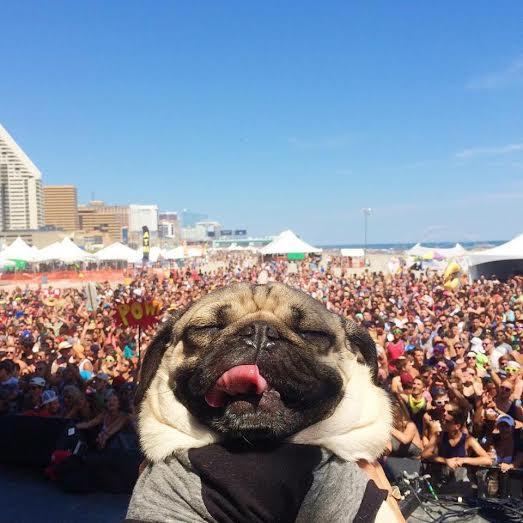 pug at a concert