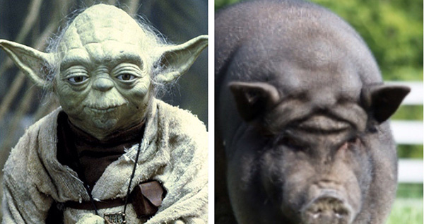 pig with yoda forehead