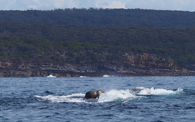 seal surfing whale