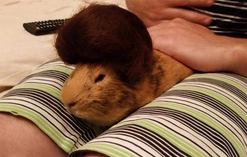 guinea pig with a toupee