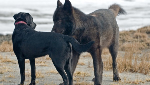 wolf named Romeo Alaska plays with dogs