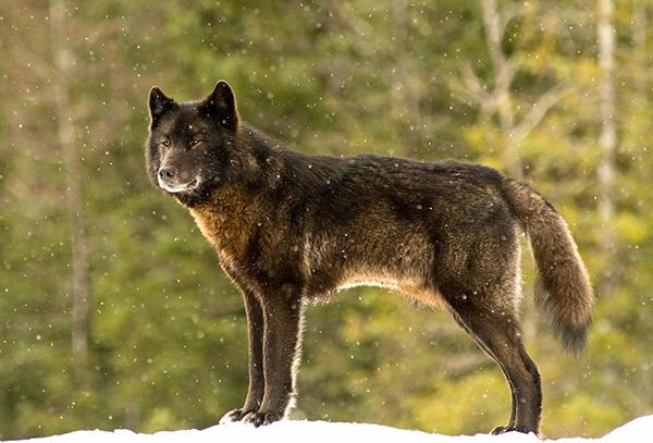 romeo wolf