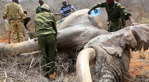 obama ends commercial sale of ivory in USA