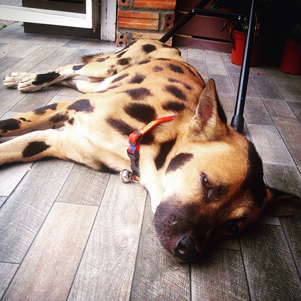leopard dog