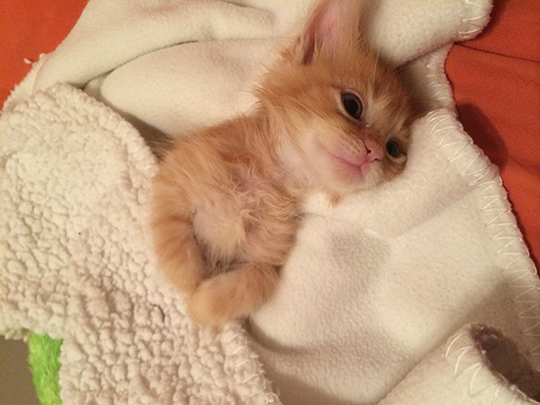all tucked in kitten