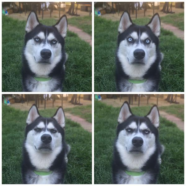 funny husky faces