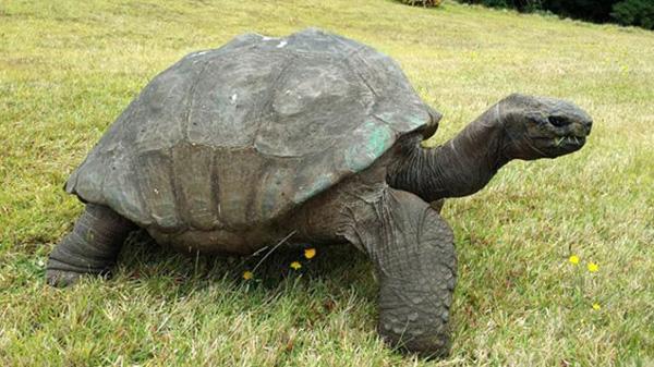 jonathan tortoise