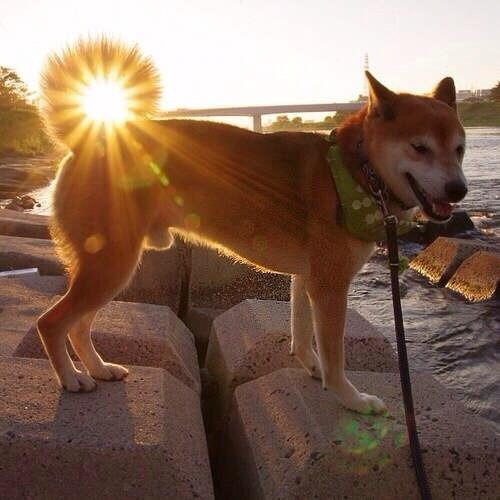 suntail dog