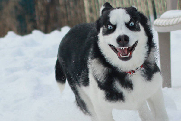 Meme Funny Husky Dogs : He captured the exact moment he didn't give his husky the last bite