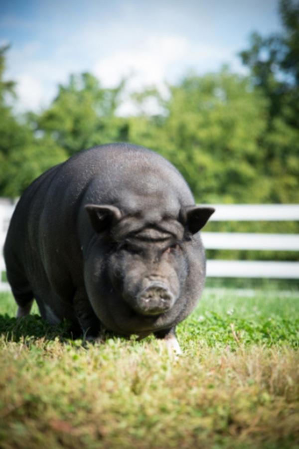 yoda pig forehead