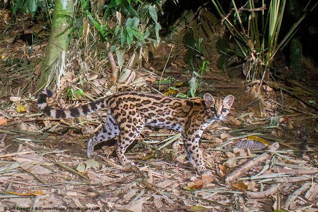 amazon camera catches rare animals