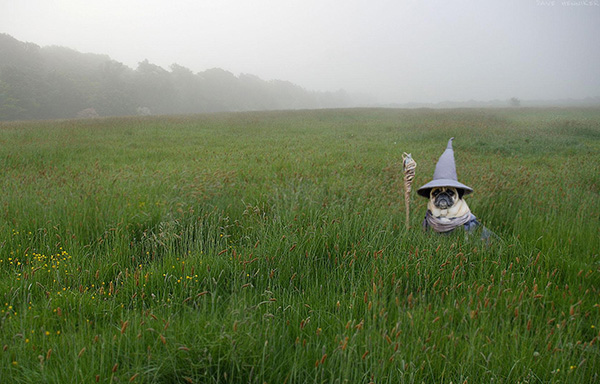 gandalf the pug