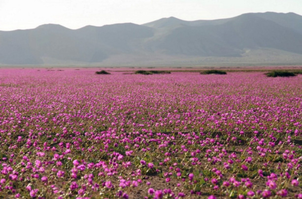 desert filled with pink flowers
