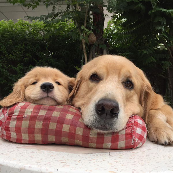 dogs sharing a pillow