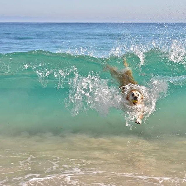 dog riding the waves