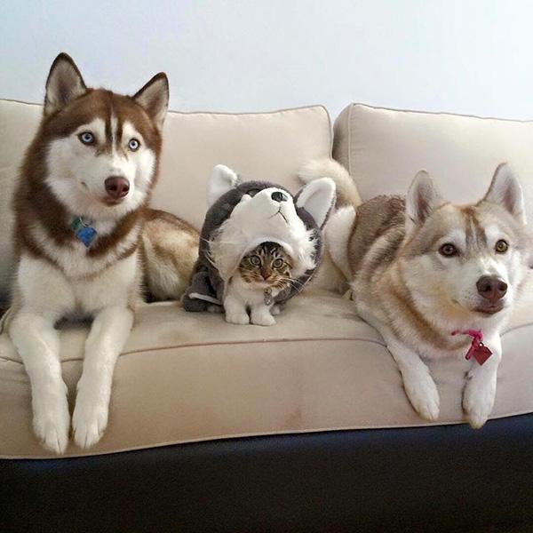 cat husky costume