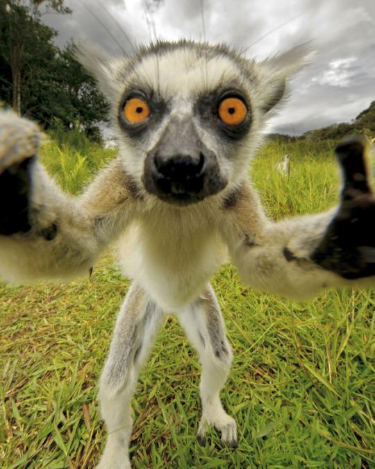 lemur takes a selfie