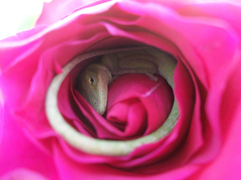 lizard napping in rose