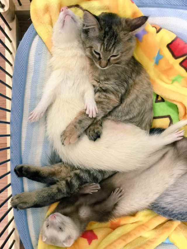 kitten adopted by ferrets