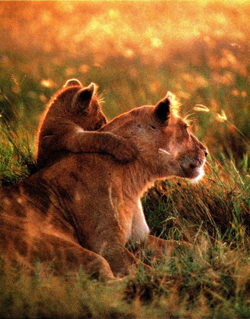 lions watching the sunset