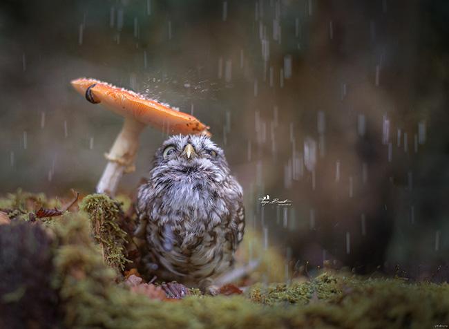 owl hiding from rain