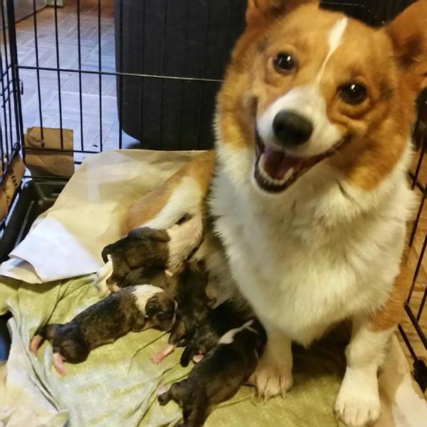 corgi smiling over puppies