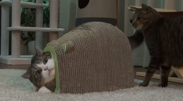 Maru And Hana Got A New Toy That Only Fits One Cat At A