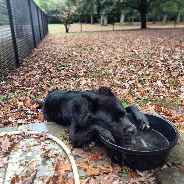 tired dog at dog park thirsty