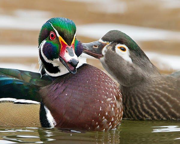 first kiss duck