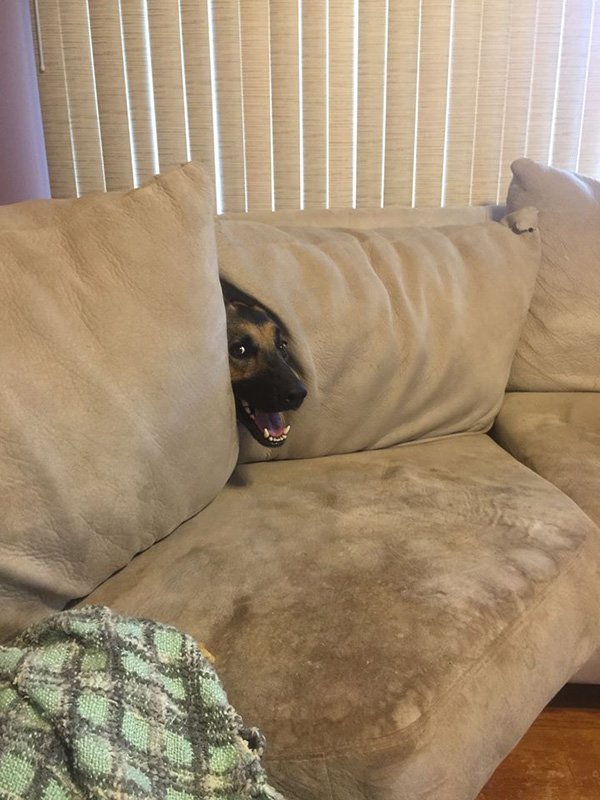 dog in couch hide and seek