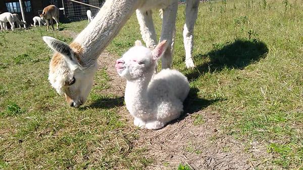 cutest baby alpaca ever