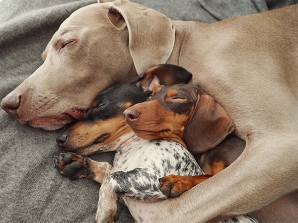 dog protecting the family