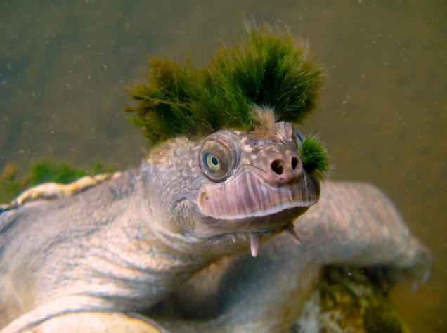 turtle with green mohawk