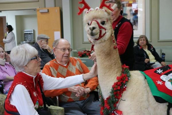 alpaca visits nursing home