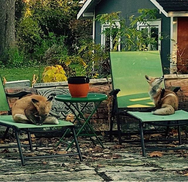 foxes in lounge chairs