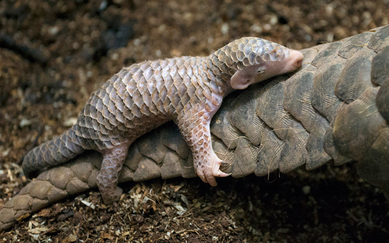 baby pangolin clinging to moms tail