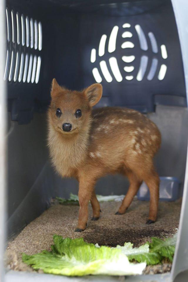 the worlds smallest deer pudu