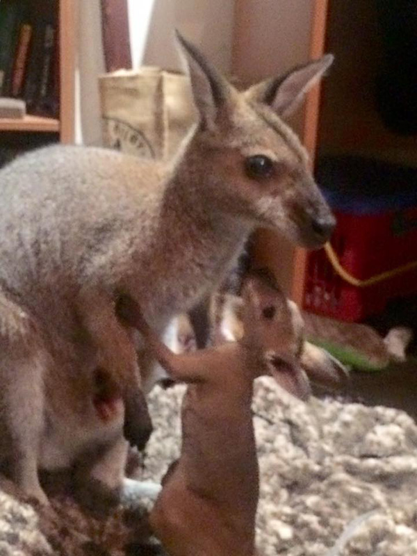 wallaby brings joey to meet rescuer