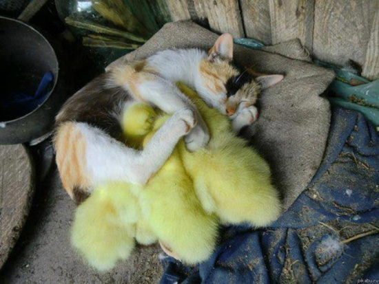 cat protects ducklings