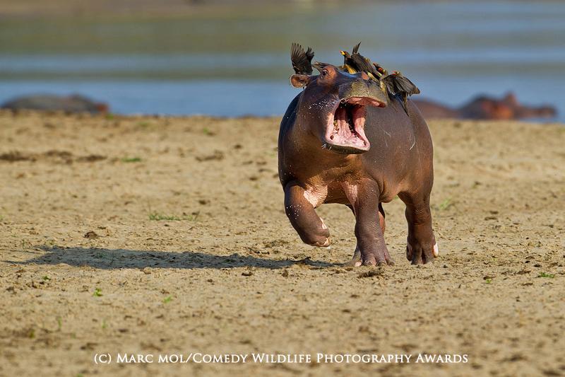 comedy wildlife photo contest