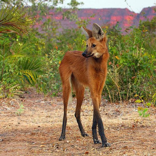 mae wolf fox stilts